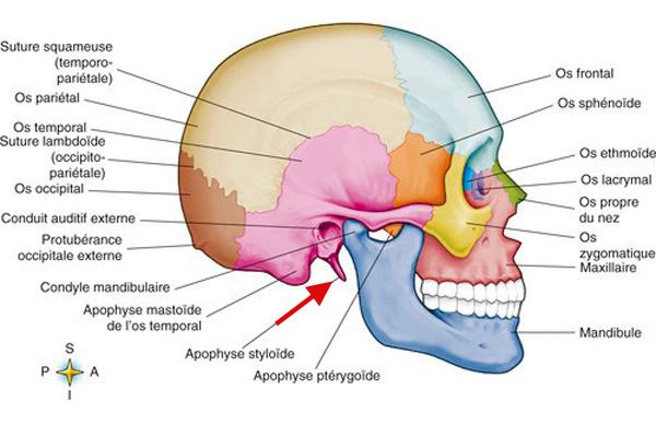 Anatomie du crane