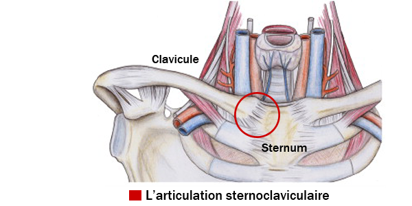 Articulation sternoclaviculaire